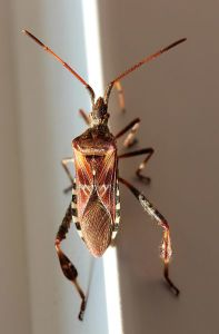 394px-Leptoglossus_occidentalis_by_Wulu