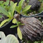 Myrmecodia tuberosa (photo: Megan Hansen, Flickr, Creative Commons Lic.)