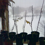 Golden rain trees weather the snow inside Colby's greenhouse.