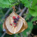 Jadera haematoloma feeding on a mature balloon vine seed pod