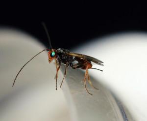 Dinocampus coccinellae wasp