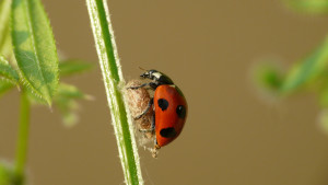 A spotted lady beetle guarding the parasitic larva of Dinocampus coccinellae. (image: coniferconifer, via flickr, CC BY 2.0)