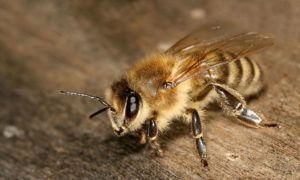 The non-aggressive honey bee species, Apis mellifera (Image: Wikipedia, CC by 2.5)