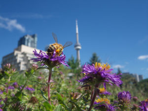 A honey bee in Toronto (Image: Wikipedia, CC 4.0)