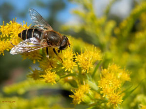 Fly (resembling a wasp) sitting on a flower (Image: Wikimedia Commons, public domain)