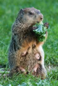 While They Are Herbivores Woodchucks Also Known As Groundhogs Land Beavers And Whistle Pigs Prefer The Same Fruits Vegetables We Eat At Home
